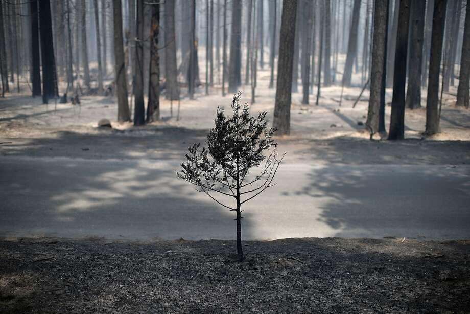 The remains of a small tree stands near a grove of trees burned by the Rim Fire outside of Camp Mather on August 24, 2013 near Groveland, California. The Rim Fire continues to burn out of control and threatens 4,500 homes outside of Yosemite National Park. Photo: Getty Images