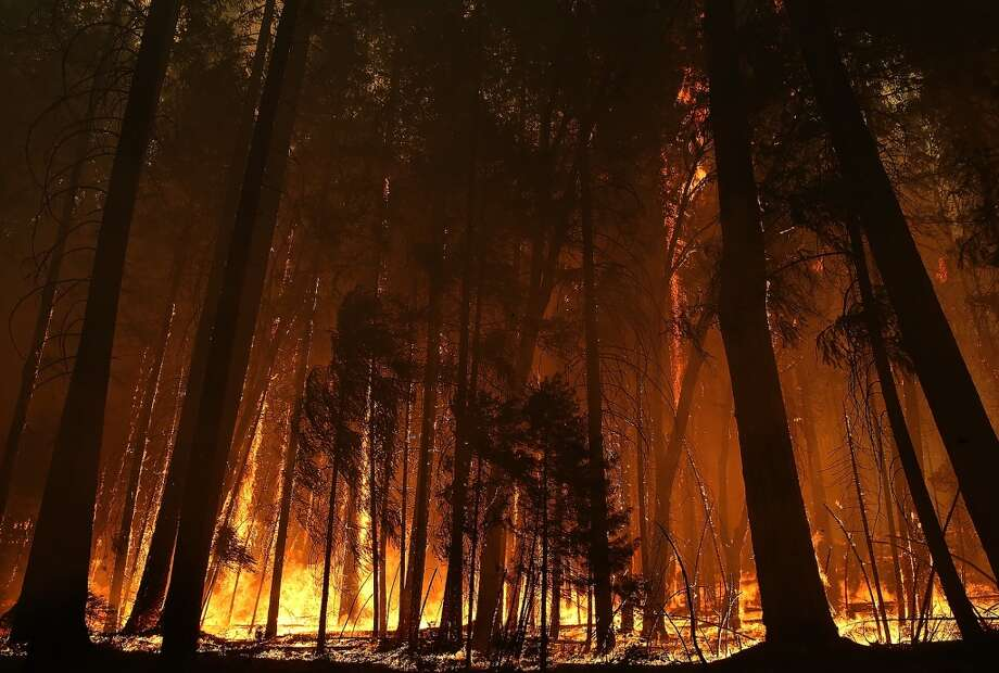 Flames from the Rim Fire consume trees on August 25, 2013 near Groveland, California. The Rim Fire continues to burn out of control and threatens 4,500 homes outside of Yosemite National Park. Photo: Justin Sullivan, Getty Images