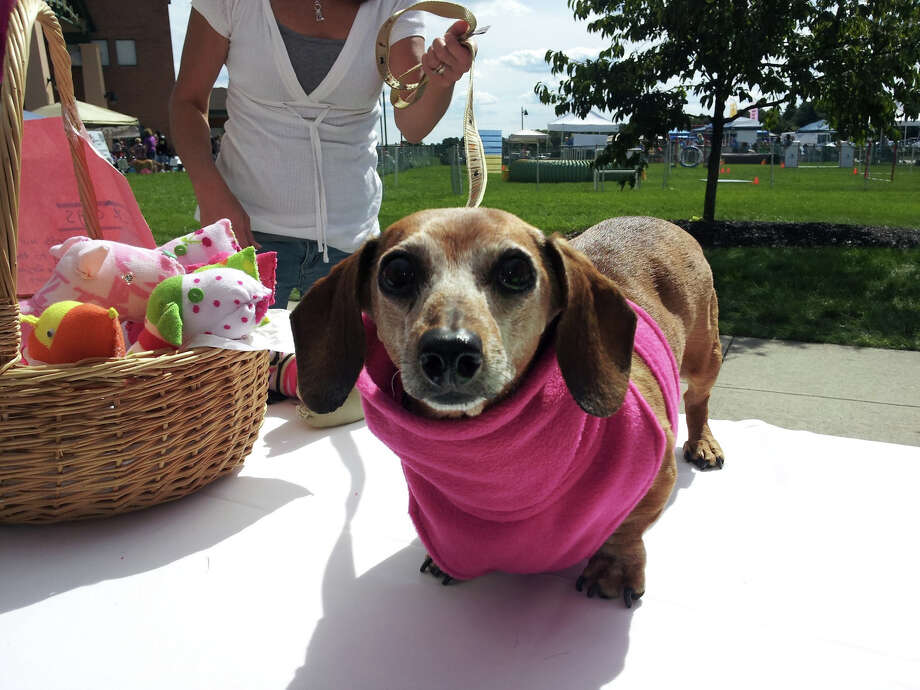 Heidi is content to wear a Doggy Dickey, designed by Darien High School graduate Lindsay Calastro McGraw, who is competing in a contest sponsored by Walmart to have her product on the shelves there. Photo: Contributed