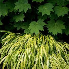 Hakonechloa macra  Aureola,  commonly known as Golden Hakone grass or Japanese forest grass.