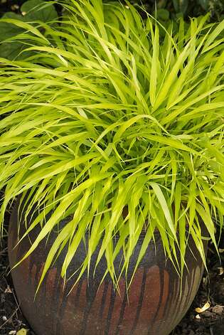 Golden hakone grass a hardy ornamental sfgate for Ornamental grasses that grow in shade