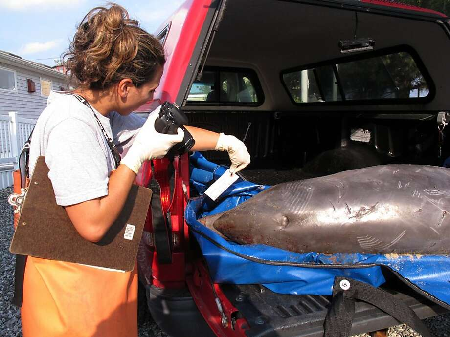 Danielle Monaghan, a field stranding technician with the Marine Mammal Stranding Center in Brigantine, N.J., photographs a dead dolphin that washed ashore last Wednesday in Spring Lake, N.J., before being brought to the center for an exam. Photo: Wayne Parry, Associated Press