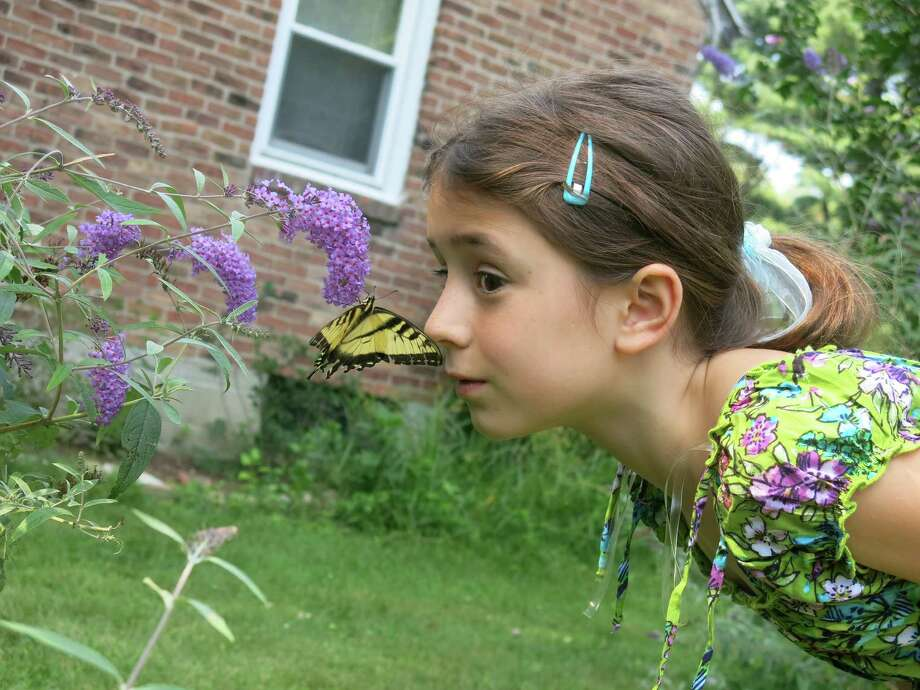 "A tiger swallowtail didn't seem to mind that Bella Lue, 7, of Latham, got close to it as it enjoyed the nectar of the flowers on her grandmother Joanne Lue's butterfly bush in Guilderland. ""Bella is fascinated by nature."" her grandmother says. ""After this meeting with the butterfly we went to the garden shop and bought a butterfly bush and Bella has started a butterfly garden at her home ... she is hoping that a hummingbird will appear soon."" (Joanne Lue)"