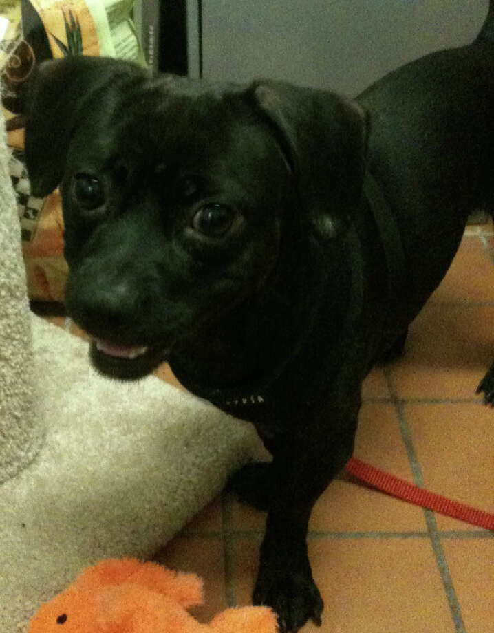 Rocket is looking for a loving home. Photo: Contributed Photo / Westport News