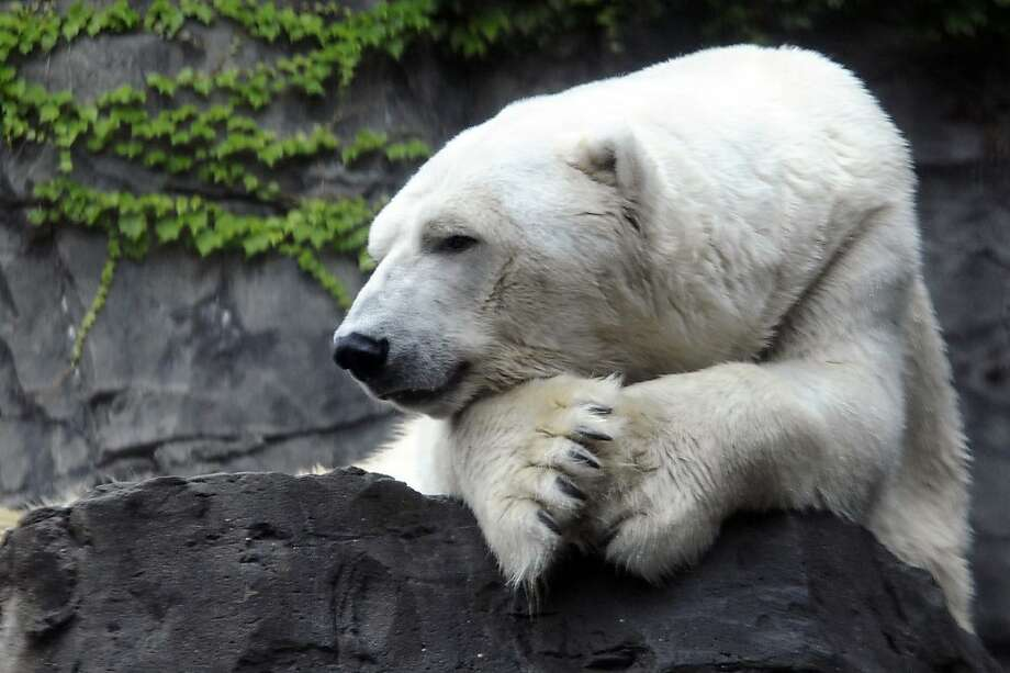 Rest in peace, Gus: The Central Park Zoo in New York reports that its longtime polar bear, Gus, has died. The Wildlife Conservation Society said veterinarians euthanized the popular bear Tuesday because of a large, inoperable tumor. Gus lived to be 27 when the median life expectancy for male polar bears in zoos is less than 21. Photo: Julie Larsen Maher, Associated Press