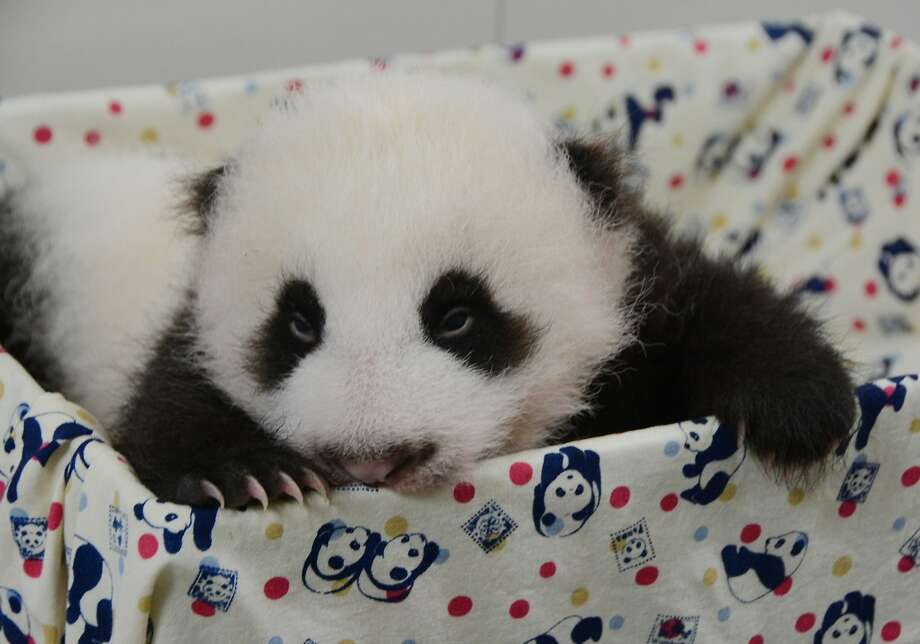 What's black and white and red all over? The Taipei Zoo's baby panda after waking 