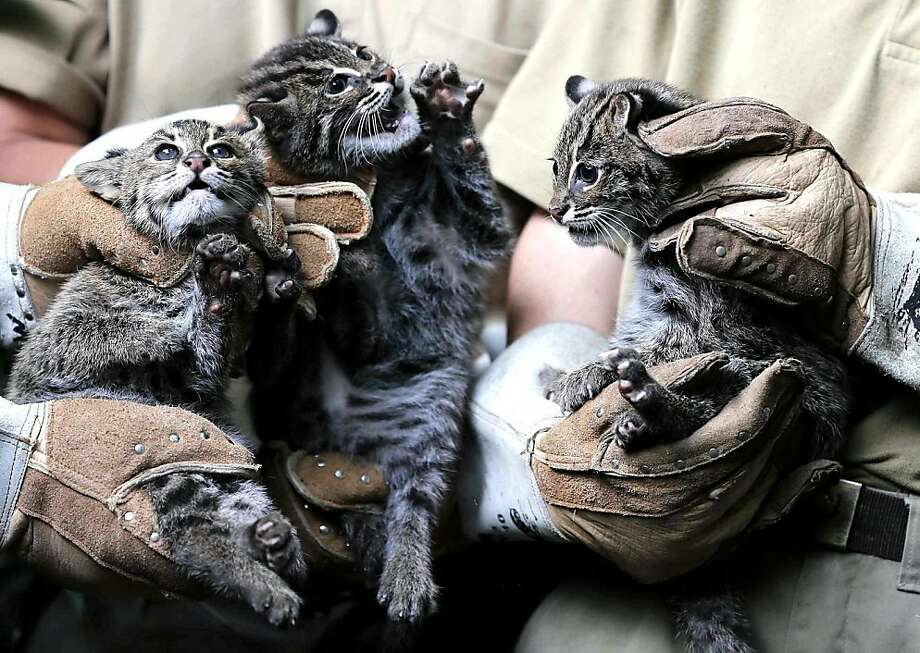 This we know about about fishing cat cubs:1) They belong to a threatened species and are rarely seen in the wild; 2) They have webbed feet for swimming and needle-like claws for catching fish; 3) Industrial-strength work gloves are strongly advised when handling them. (Duisburg Zoo, Germany.) Photo: Frank Augstein, Associated Press