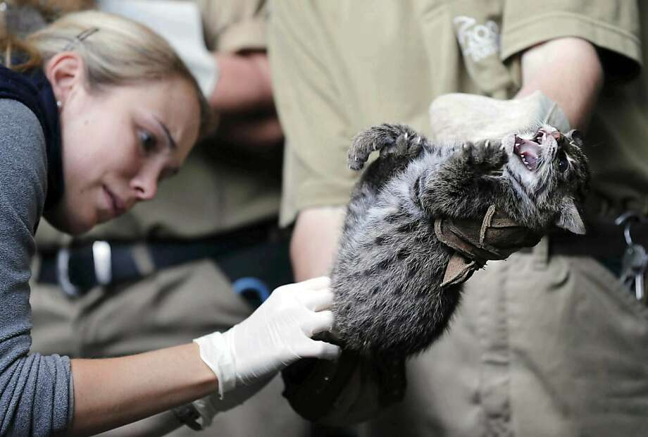 What are you doing down there?!Fishing cat cubs do not enjoy being poked in their nether regions, even by experienced zoo vets like Sandra Langer. (Duisburg Zoo.) Photo: Frank Augstein, Associated Press