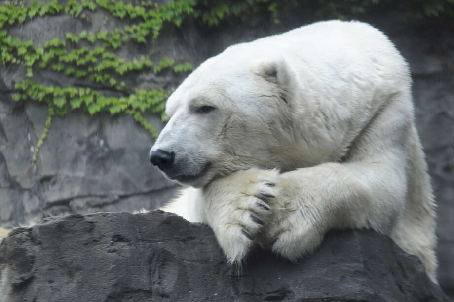 Gus the polar bear helped to call attention to climate change, officials at the Central Park Zoo said. Photo: JULIE LARSEN MAHER, Handout / Wildlife Conservation Society