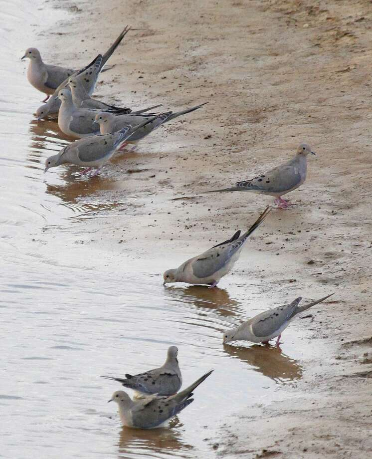 Improved habitat conditions triggered by timely rains this year helped Texas mourning doves and could push the population to as many as 50 million birds ahead of the Sept. 1 opening of dove hunting season in much of the state. Photo: Picasa