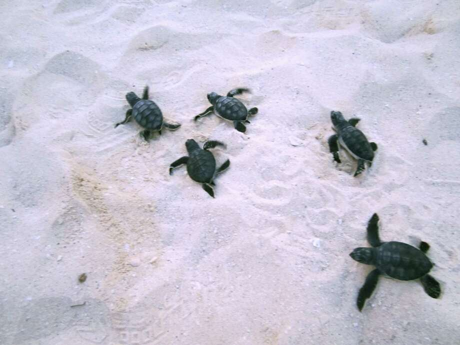 Baby sea turtles scoot across a beach in Cancún, Mexico, before being released to the sea by tourists later that night. The releases, conducted by hotels with sea turtle rescue programs, are a popular part of late-summer and fall tourism in Cancún. Photo: Photos By David Hendricks / San Antonio Express-News