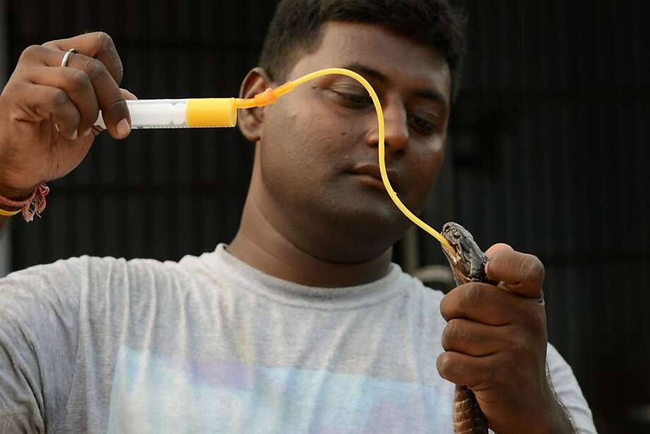 Even cobras need saving: A reptile catcher named Dharmeshbhai feeds a rescued cobra at the 