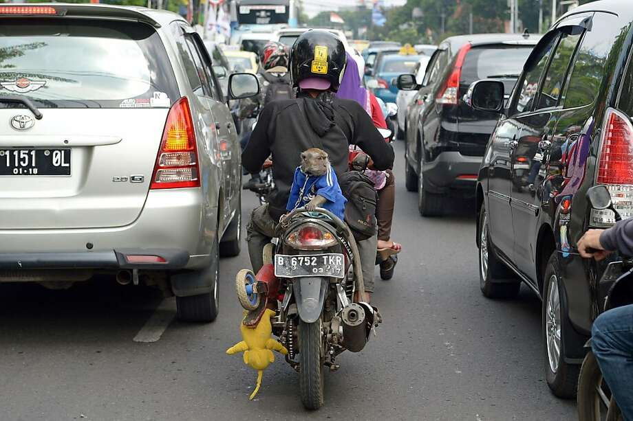 Monkey in the middle lane: The oddest thing about this motorcyclist in Jakarta is not the simian riding in the back, but the plushy elephant kickstand. Photo: Adek Berry, AFP/Getty Images