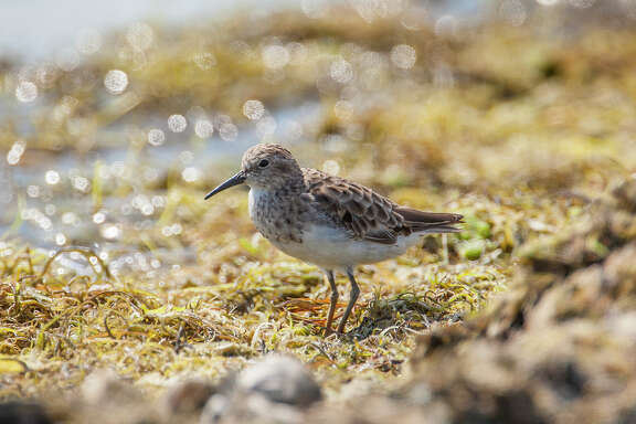 Least sandpipers are ubiquitous early migrants at lakes, sweage ponds, prairie pools, and beaches.  Photo Credit:  Kathy Adams Clark.  Restricted use.
