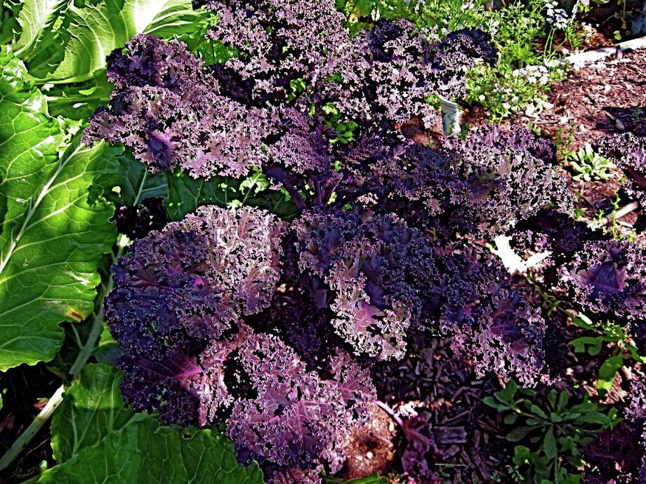 This Redbor kale makes a nutritious, beautiful garden guest during cold winters.