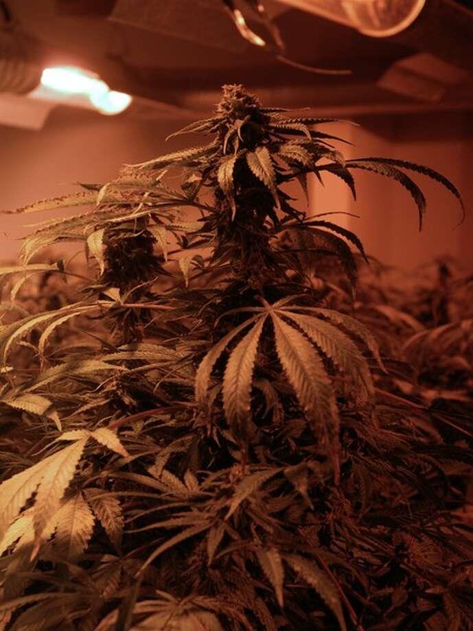 Close-up of a marijuana plant. Photo: Wall To Wall Media