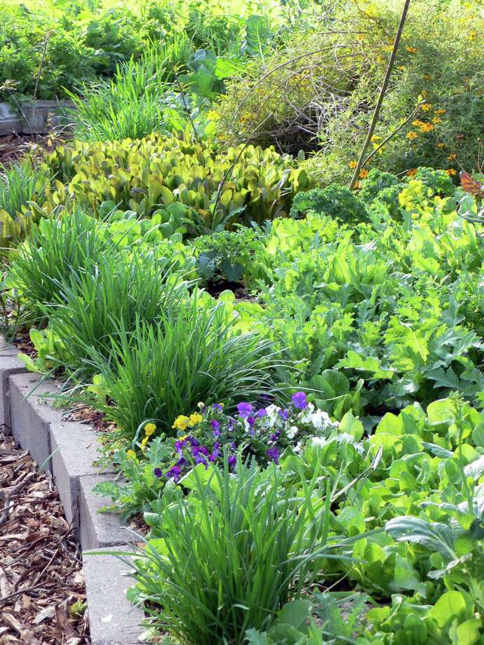 Lettuces, chives and pansies create a unique groundcover border in the Meredith Community Garden. Photo: Picasa