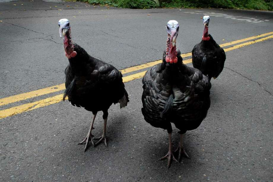 A group of wild turkeys cross Westhill Rd near Roxbury School in Stamford, Conn. on Friday August 30, 2013. Photo: Dru Nadler / Stamford Advocate Freelance