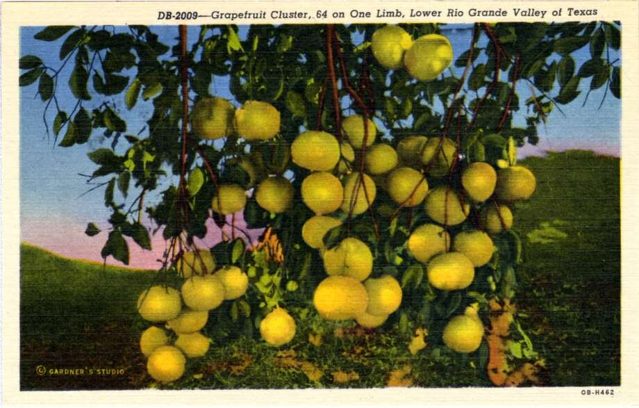 UNITED STATES - CIRCA 1940:  Postcard view of grapefruit hanging on a tree.  (Photo by Lake County Museum/Getty Images) Photo: Getty Images