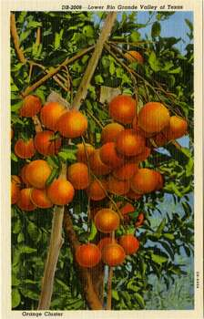 UNITED STATES - CIRCA 1940:  Postcard view of a cluster of oranges hanging on a tree.  (Photo by Lake County Museum/Getty Images) Photo: Getty Images