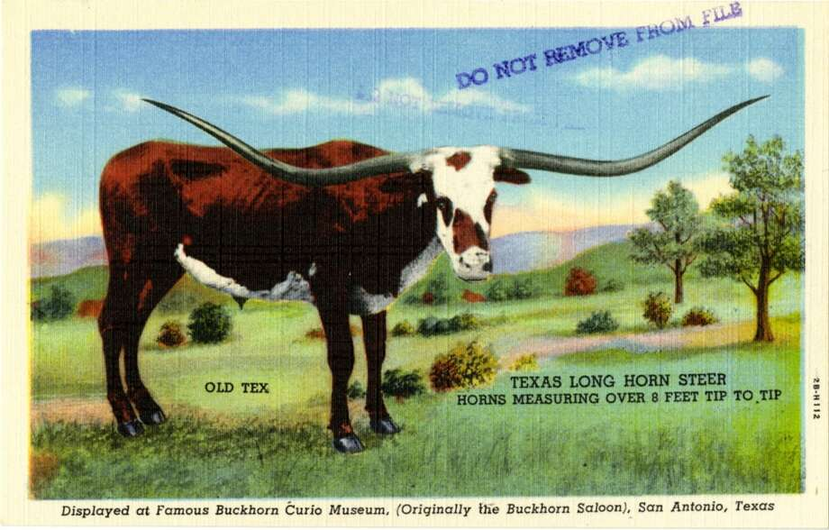UNITED STATES - CIRCA 1942:  Postcard view of a Texas Long Horn Steer out in a pasture.  (Photo by Lake County Museum/Getty Images) Photo: Getty Images