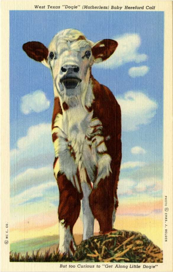 UNITED STATES - CIRCA 1943:  Postcard view of a close up of a brown and white Hereford calf.  (Photo by Lake County Museum/Getty Images) Photo: Getty Images