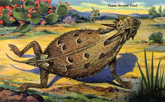 CIRCA 1943:  Postcard view of a Texas Horned Toad in a desert setting.  (Photo by Lake County Museum/Getty Images) Photo: Curt Teich Postcard Archives, Getty Images