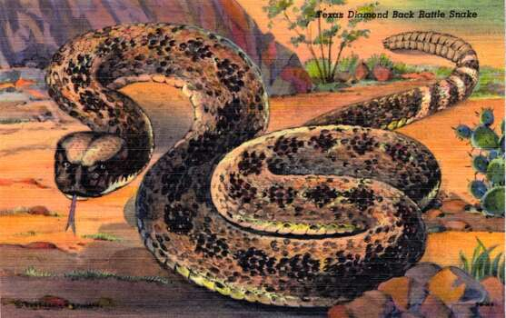 UNITED STATES - CIRCA 1943:  Postcard view of a texas Diamond Back Rattle Snake in a desert scene.  (Photo by Lake County Museum/Getty Images) Photo: Getty Images