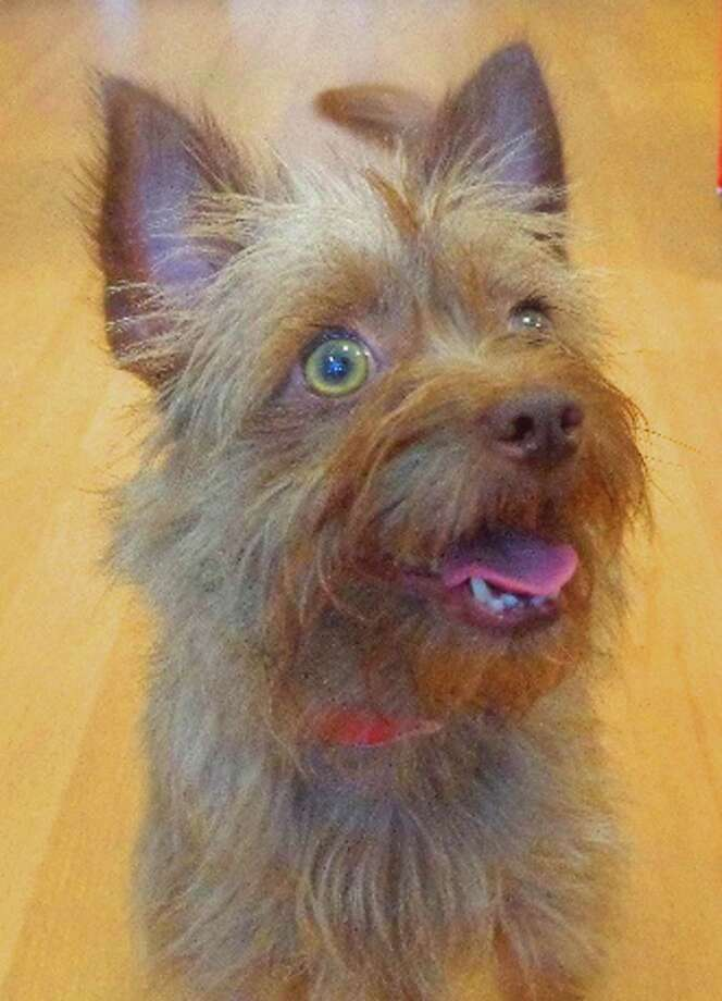 Next up is Dorothy an 8 month old, 8 Lb Cairn Terrier mix girlfriend who was found as a stray