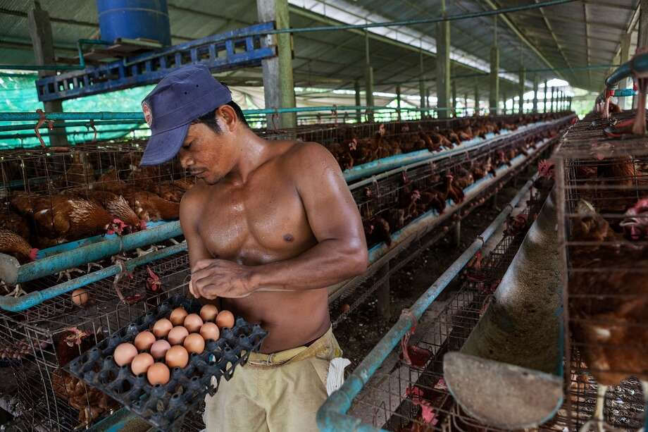 Cambodia:  A man collects eggs from chickens in holding pens at an egg farm south of Phnom Penh on August 26, 2013 in Preak Palap, Kandal Province, Cambodia. Cambodia has seen the worst out break of Avian influenza H5N1 since the disease was first identified, so far this year 17 cases have been report, 10 of which have been fatal. Photo: Nicolas Axelrod, Getty Images