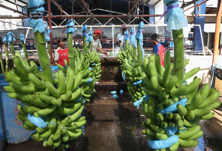 Mexico: Workers unload green bananas for washing at the Santa Cruz banana plantation in Ciudad Hidalgo, Chiapas, Mexico. The fruit from the plantation in the Mexican state of Chiapas is harvested year round and shipped to clients in Mexico and the United States, incluiding Chiquita, the leading American banana distributor. Photo: John Moore, Getty Images