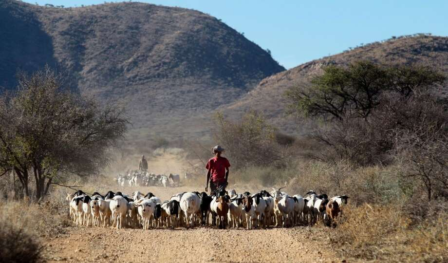 Turkey: Farm worker Theo Awochab walks with a herd of goats on Retha Joubert's farm near Gobabis. Photo: Jennifer Bruce, AFP/Getty Images