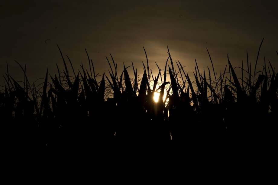 Illinois: The silhouettes of corn plants stand against the morning sun outside of Princeton, Illinois. Wheat futures fell for a third straight day this week on signs of slack demand for inventories from the U.S., the world's largest exporter, while soybeans dropped and corn gained. Photo: Daniel Acker, Bloomberg
