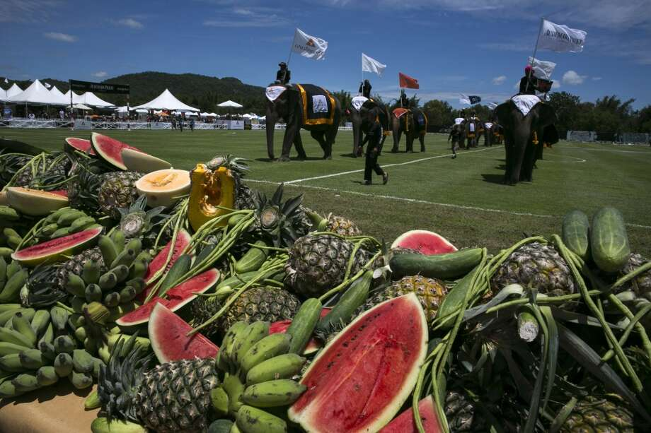 Thailand: Elephants walk to enjoy a fruit buffet during the first day of events at the King's Cup Elephant Polo tournament. Photo: Paula Bronstein, Getty Images