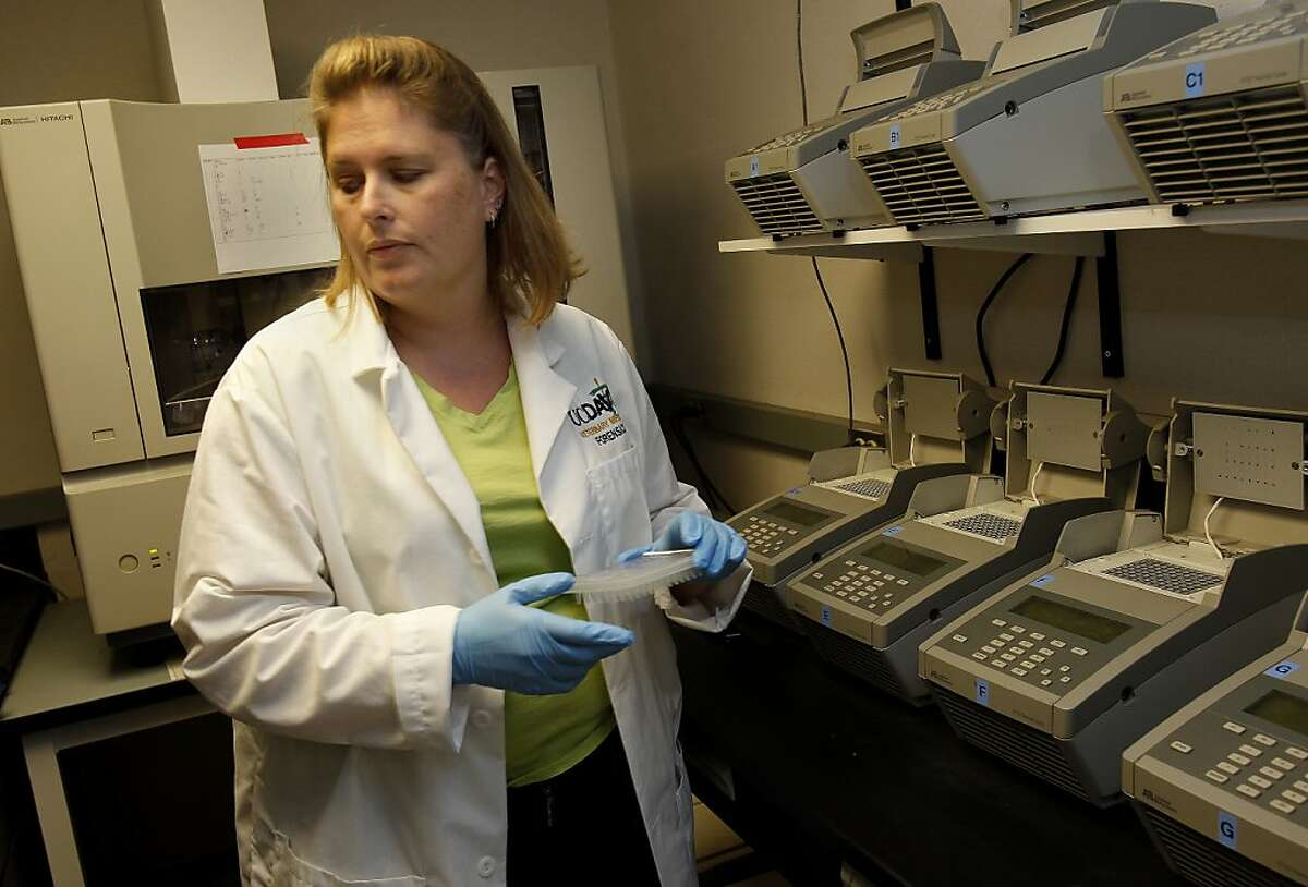 Forensics researcher Teri Kun works in one of several portable buildings that house the lab on campus Thursday August 29, 2013. The Forensics laboratory at the Veterinary Genetics lab at UC Davis in Davis, Calif. is using cat hairs and other animal clues to solve human crimes.