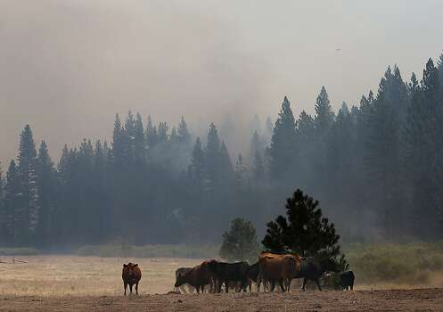 GROVELAND, CA - AUGUST 28:  Cows graze in a field as the Rim Fire burns in nearby hills on August 28, 2013 near Groveland, California.  Over 3,500 firefighters are battling the destructive Rim Fire  that has charred 180,000 acres and has entered a section of Yosemite National Park. The fire is currently 23 percent contained.  (Photo by Justin Sullivan/Getty Images) Photo: Justin Sullivan, Getty Images
