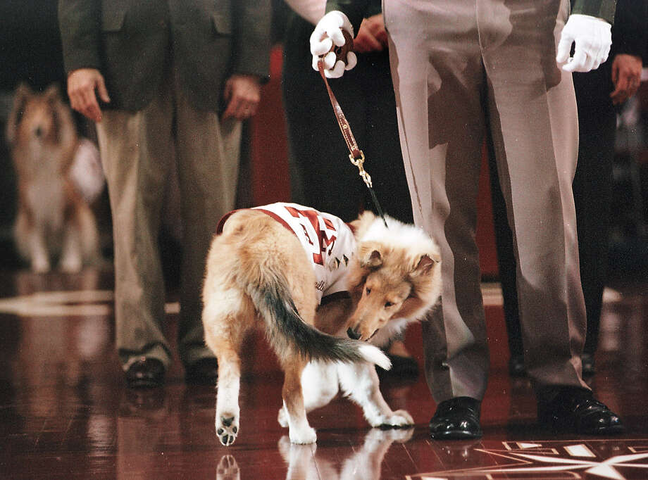 Texas A&M University'e new mascot Reveille VII chases her tail during her debut before the start of the basketball game between A&M and the Missouri Saturday, Feb.17, 2001, in College Station, Texas. Photo: BUTCH IRELAND, AP / BCS EAGLE