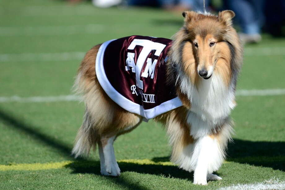 COLLEGE STATION, TX - OCTOBER 29:  Reveille VIII of the Texas A&M Aggies takes the field before a game against the Missouri Tigers at Kyle Field on October 29, 2011 in College Station, Texas. The Missouri Tigers defeated the Texas A&M Aggies 38-31.  (Photo by Sarah Glenn/Getty Images) Photo: Sarah Glenn, Getty Images / 2011 Sarah Glenn