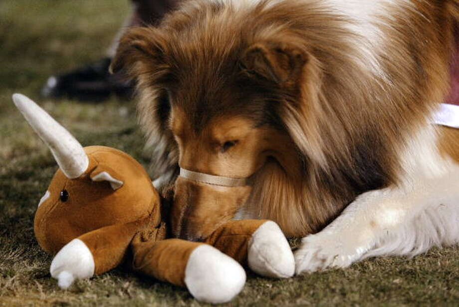 Reveille chews on a Texas Longhorns Bevo mascot doll in 2003 at Kyle Field in College Station. (Photo by Brian Bahr/Getty Images) Photo: Brian Bahr, Getty Images / 2003 Getty Images