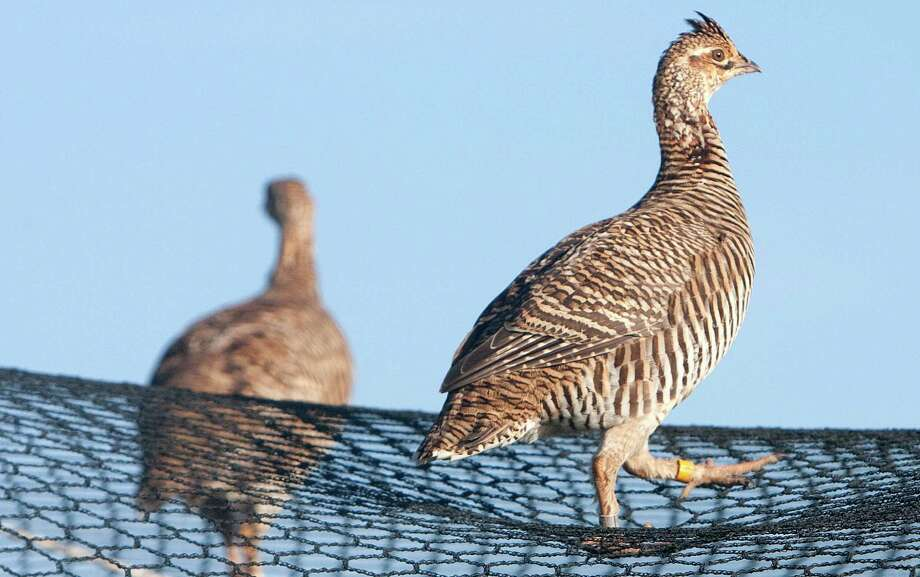 The Attwater Prairie Chicken National Wildlife Refuge in Eagle Lake, above, helps the species. A proposal to save the lesser prairie chicken is supposed to be released next week, but there is much debate about the issue. Photo: Cody Duty, Staff / © 2012 Houston Chronicle