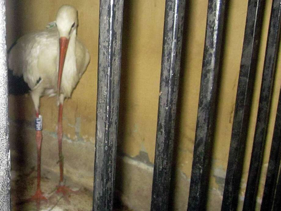 A migrating stork is held in a police station after an Egyptian citizen suspected it of being a spy. Photo: Uncredited, STR / AP