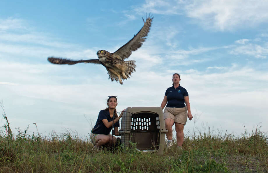 In a Tuesday, Aug. 27, 2013 photo, Wildlife Care Dept. Husbandry assistant, Clarivel Chavez, left, and Sr. Wildlife Care Specialist Kelly Shutt with the Texas State Aquarium release two rehabilitated Great horned Owls back into the wild in a wooded area near the Richard M. Borchard Regional Fairgrounds in Robstown, Texas.  The juvenile owls were found orphaned at the fairgrounds, and were brought to the Aquarium's Second Chances Wildlife Rehabilitation Program in April. Photo: AP