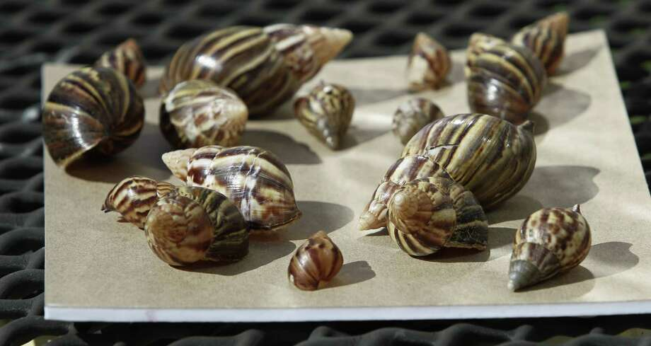 In this Sept. 30, 2011 file photo, a collection of giant african land is seen in Miami. The snails can grow to eight inches and can eat 500 types of plants and cause structural damage to plaster and stucco. The Florida Department of Agriculture officials will announce their results of their two-year effort to eradicate the giant African land snail during a press availability in Miami, Thursday, Aug. 29, 2013. Photo: AP