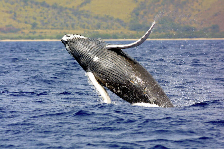 This undated file photo shows a humpback whale jumps out of the waters off Hawaii. The National Oceanic and Atmospheric Administration is launching a review of whether it should take North Pacific humpback whales off the endangered species list. NOAA Fisheries is responding to a petition filed by a group of Hawaii fishermen saying the whale should no longer be classified as endangered because its population has steadily grown since the international community banned commercial whaling nearly 50 years ago. Photo: AP