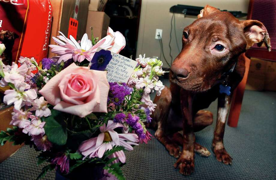 In this Tuesday, April 5, 2011 file photo, a one-year-old pit bull nicknamed Patrick sits next to flowers sent by a supporter in Alaska as he recovers  at Garden State Veterinary Specialists in Tinton Falls, N.J., after being found starved and dumped in a trash chute. The New Jersey woman who admitted tying the pit bull to a railing and leaving it for a week, is is not going to prison. On Thursday, Aug. 29, 2013, a judge sentenced Kisha Curtis to 18 months' probation. Photo: AP