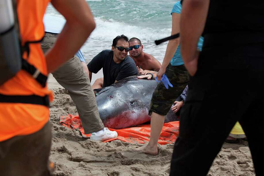 Antonio Rodriguez, left, a student intern with Palm Beach County Environmental Resources Management, helps to calm a pygmy sperm whale that was near death after it washed up on Delray Beach, Fla. on Wednesday, Aug. 28, 2013. The Florida Fish and Wildlife Conservation Commission will take custody of the whale, which they say will not survive. Photo: AP