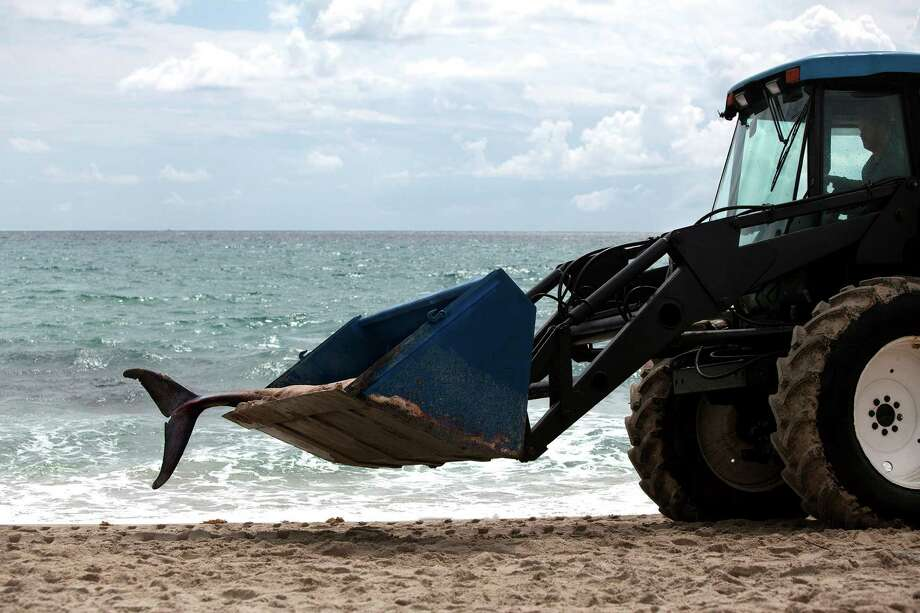 A pygmy sperm whale that washed up on Delray Beach, Fla. is transported on Wednesday, Aug. 28, 2013. The whale was euthanized and transported to the Palm Beach Zoo. Photo: AP