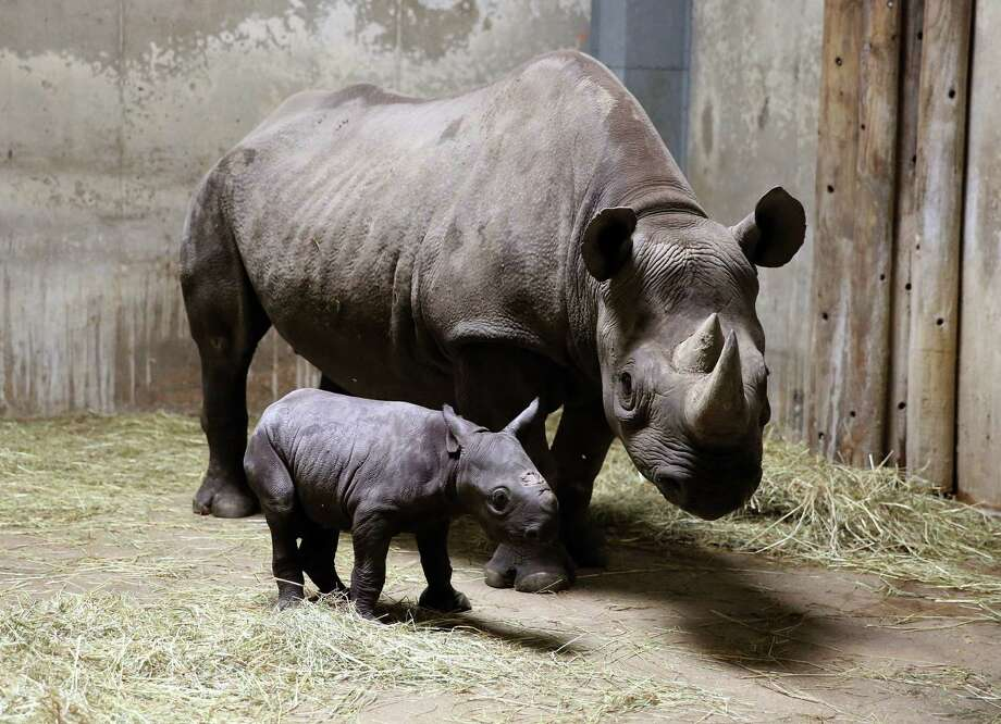 This Aug. 28, 2013 photo provided by Chicago's Lincoln Park Zoo shows an Eastern black rhinoceros calf walking with its mother, 8-year-old Kapuki, at the zoo in Chicago. The new baby, born Aug. 26, weighed 60 pounds at birth. Black rhinos are endangered and are a target for poachers. Lincoln Park Zoo is dedicated to rhino conservation. Photo: AP