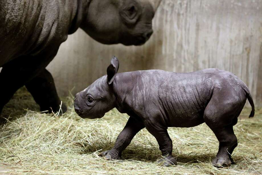 This Aug. 28, 2013, photo provided by Chicago's Lincoln Park Zoo shows an Eastern black rhinoceros calf walking with its mother, 8-year-old Kapuki, at the zoo in Chicago. The new baby, born Aug. 26, weighed 60 pounds at birth. Black rhinos are endangered and are a target for poachers. Lincoln Park Zoo is dedicated to rhino conservation. Photo: AP