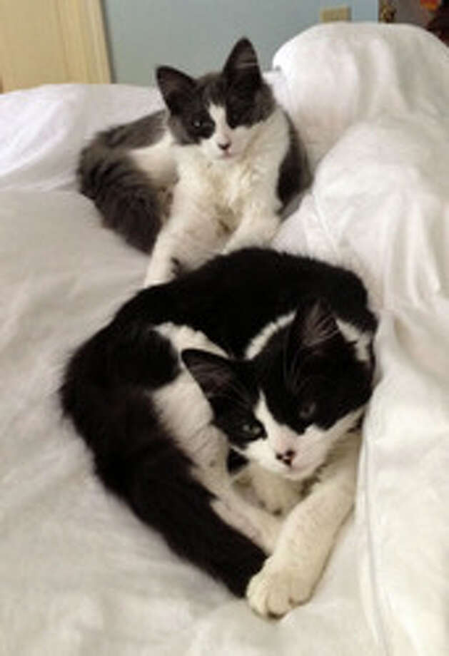 Benny and Bunny are beautiful, affectionate kittens waiting for a loving home. (Mary Lou Baker)